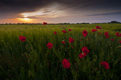 Red poppy Papaver rheas field and dark sunset. Red poppy Papaver rheas field profiled on dark beautiful sunset Royalty Free Stock Image