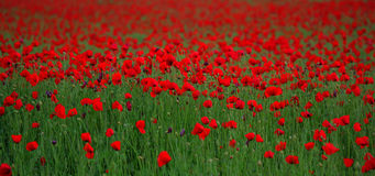 Red poppy Papaver rheas field profiled on green. Barley field Royalty Free Stock Photography