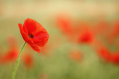 Red poppy (Papaver rhoeas). Royalty Free Stock Images