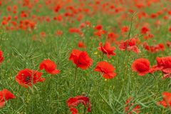Red poppy Papaver Rhoeas L.. A field full of blooming red poppies. Stock Image