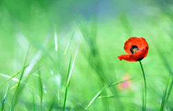Red poppy (Papaver rhoeas) with out of focus  field Royalty Free Stock Images