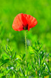 Red poppy (Papaver rhoeas) with out of focus field Stock Images