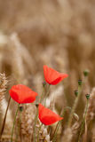 Red Poppy (Papaver Rhoeas) - Remembrance Day Stock Image