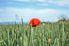 Red poppy (Papaver rhoeas) in wheat field on spring time. Corn rose, common poppy, Flanders poppy, coquelicot, red weed.  royalty free stock photo