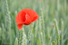 Red poppy (Papaver rhoeas) in wheat field on spring time. Corn rose, common poppy, Flanders poppy, coquelicot, red weed.  royalty free stock image