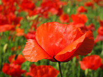 Red poppy petals royalty free stock photos