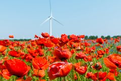 Red poppy plant in sunshine with pinwheel and blue sky stock photo