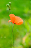 Red poppy portait Stock Image