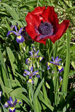 Red poppy and purple irises Royalty Free Stock Image