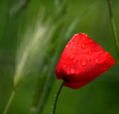 Red poppy with rain drops Royalty Free Stock Images