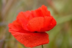 Red poppy with raindrops Royalty Free Stock Images