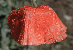 Red poppy and raindrops. Red poppy covered in raindrops and dew Royalty Free Stock Photography