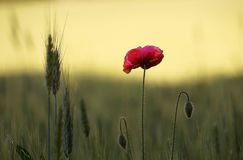 A red poppy. Among in a wheat field Royalty Free Stock Photos