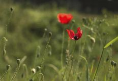 A red poppy resting in a green field. A red bright poppy resting in a green field where other poppies used to be, announcing the end of spring and approaching of Royalty Free Stock Images