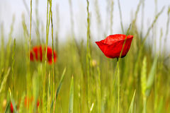 Red poppy's in the field Stock Image