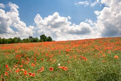 Red poppy's field under blue sky with clouds Stock Images