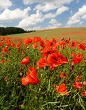 Red poppy's field under blue sky with clouds Royalty Free Stock Images