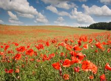 Red poppy's field under blue sky with clouds Royalty Free Stock Photo