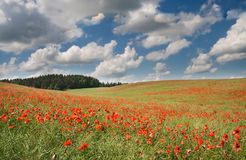 Red poppy's field under blue sky with clouds Royalty Free Stock Photos