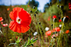 Red poppy seed. Beautiful poppy seed flower in the garden Stock Photo
