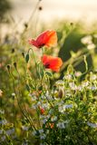 Red poppy seed in the field at sunrise. Europe stock image
