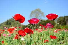 Red poppy shirley flower and blue sky background. Stock Photos