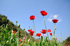 Red poppy shirley flower field and blue sky background. Royalty Free Stock Photography
