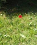 Red Poppy. Single Field Flower Stock Photography