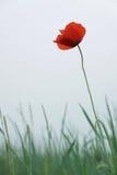 Red poppy. Single red poppy flower against grey sky (shallow DOF royalty free stock photo