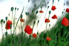 Red poppy  - soft focus Stock Image