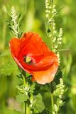 A red poppy in a Spring green field Royalty Free Stock Photography