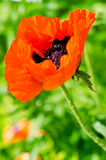 Red poppy in the spring meadow Stock Photos