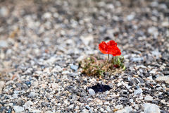 Red poppy sprouts up from the stones Royalty Free Stock Images