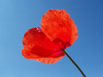 Red poppy with stalk Royalty Free Stock Photo