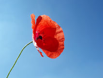 Red poppy with stalk. Against blue sky Royalty Free Stock Image