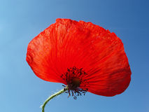 Red poppy with stalk. Against blue sky Royalty Free Stock Photos