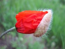 Red poppy starting to bloom, Lithuania Stock Image