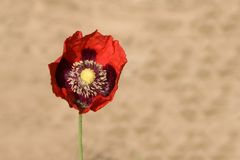 Red poppy on a stone background Royalty Free Stock Photography