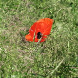 Red poppy, in summer a beautiful color patch on field and meadow Royalty Free Stock Photos