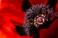 Red Poppy In A Summer Day. Red Poppy Wildflower In A Summer Day in Garden Royalty Free Stock Photo