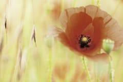 Red poppy summer flower stock images