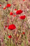 Red poppy in a summer meadow Stock Photos