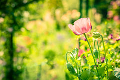Red poppy in a summer meadow on sunny day Stock Photo