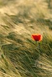 red poppy in summer sunshine Royalty Free Stock Photo