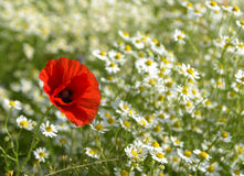 Red poppy on a sunny meadow with white daisies or chamomiles, na Stock Photography