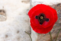 Red poppy. A Red poppy in the Turkish Ephesus site Royalty Free Stock Photo