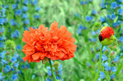 Red Poppy type flower and bud against blue flower backdrop Royalty Free Stock Images