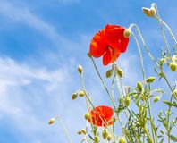 Red poppy under blue sky Stock Image