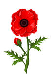Red poppy. Vector illustration. Stock Photography