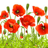 Red poppy. Vector seamless horizontal border. Vector seamless horizontal border with red poppy. Red flower and green grass Stock Photo